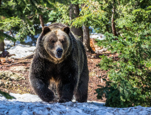 Proposed Motorized Access Management for the Protection of Grizzly Bear Habitat in Nation Territory